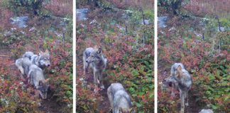 Photo Caption: Images taken in late September 2019, from a remote camera show two pups likely born to wolf 014F in spring 2019, Isle Royale National Park. NPS/SUNY-ESF photos.