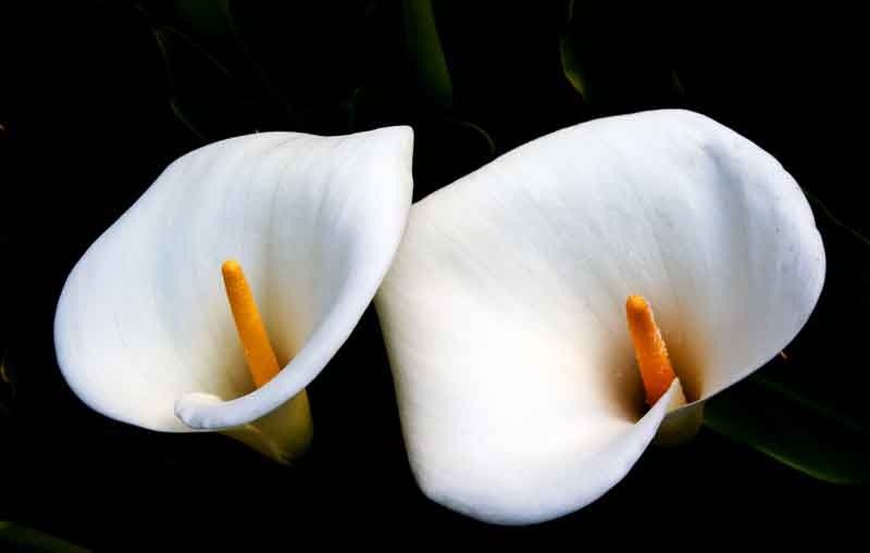 How to Cultivate Calla Indoor: Tips and Tricks