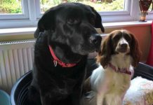 Dog welfare charity, Thin Blue Paw is urging pet owners to keep festive food out of reach of curious pets this Xmas. Jess & Betty, pictured, needed life-saving treatment after eating a mince pie.