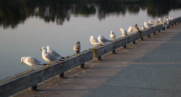 A line of gulls were enjoying the quiet of Kam River Park on Sunday morning.