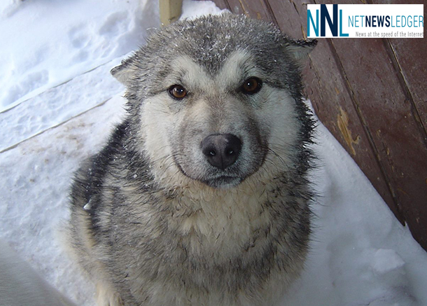 Feeding dogs in the North is the role of the Northern Dog Feeding Program