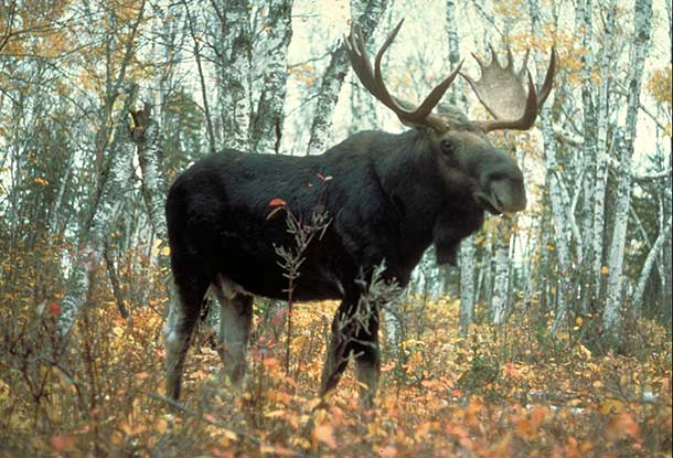 Moose are common all across Canada