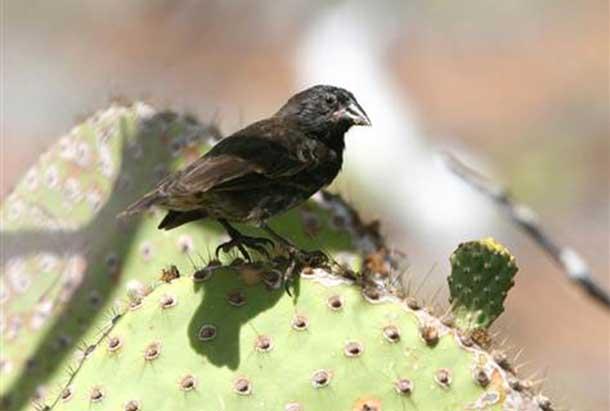 The Darwin Finch