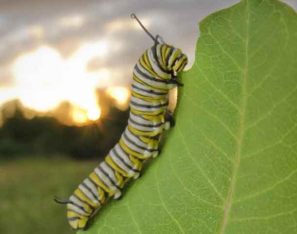 This is a monarch caterpillar on milkweed. CREDIT Ellen Woods
