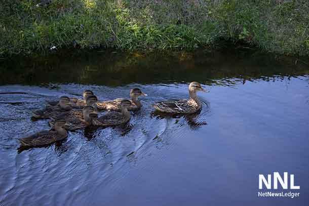 Family of Mallard Ducks at Kam River Park - July 5 2016