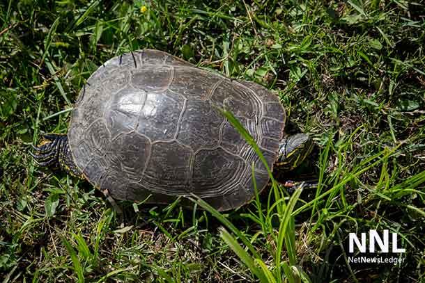 Turtle at Kam River Park - July 5 2016