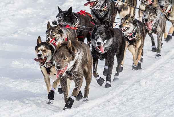 Sled dogs running the 2015 Iditarod race near the start in Fairbanks, Alaska