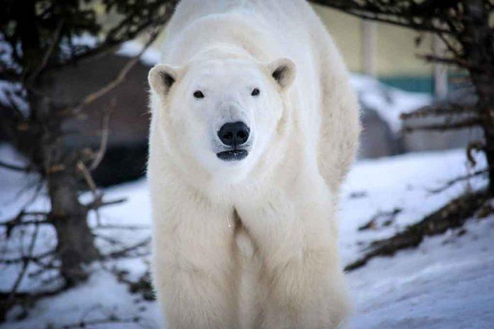 Assiniboine Park Zoo has announced that Blizzard, a five year old Polar Bear has died. Image AP Zoo