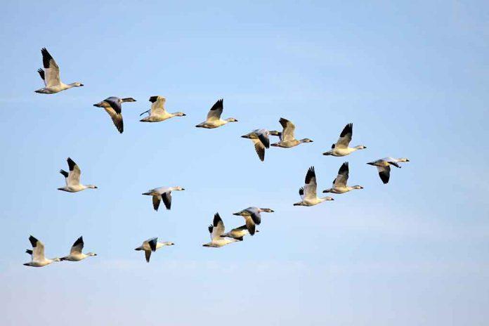 Flock of Snow Geese in flight