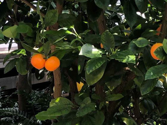Oranges Growing at the Centennial Conservatory