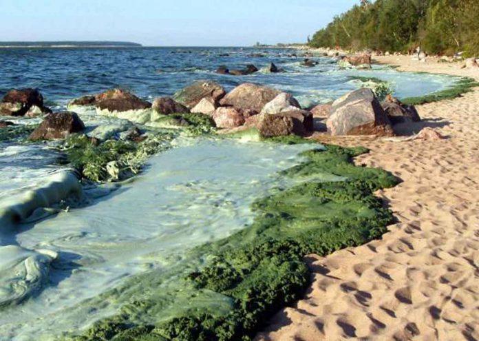 Blue Green Algae on Lake Winnipeg