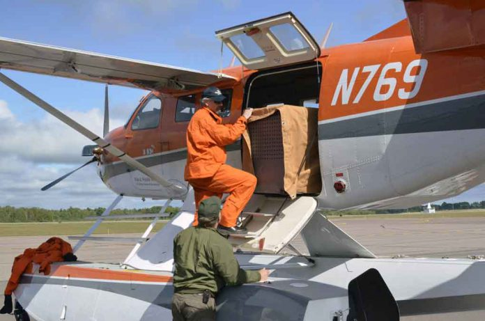 Wolf being loaded for flight to Isle Royale on US Fish and Wildlife Service aircraft.Photo courtesy of John Pepin, Michigan DNR