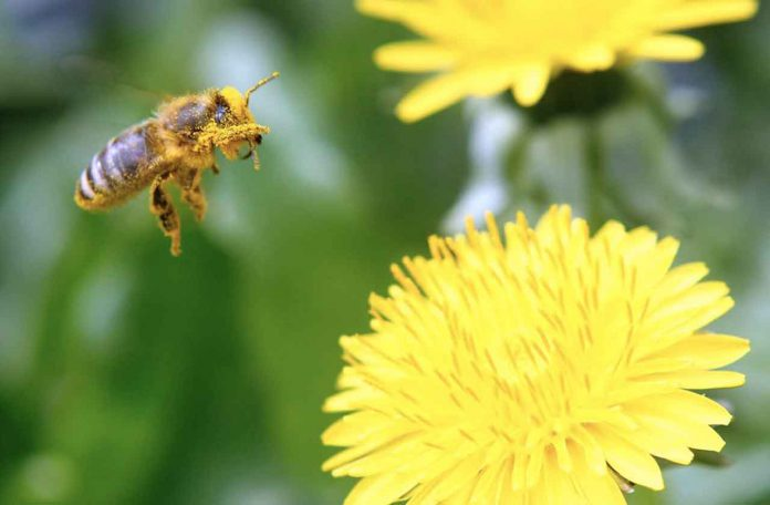 ARCHIVE PHOTO: A bee is covered with pollen as it approaches a dandelion blossom on a lawn in Klosterneuburg April 29, 2013. REUTERS/Heinz-Peter Bader